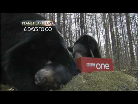 Planet Earth Live - Bear Countdown: 6 days to go - BBC One