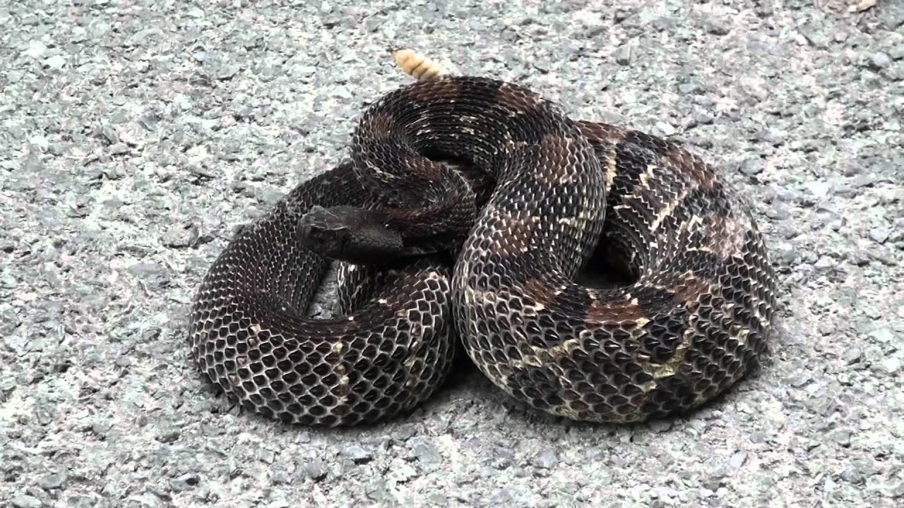 Black Timber Timber Rattlesnake Black