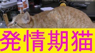 【可愛い】猫ドコモが発情期…綿棒にて発散させてみる…
