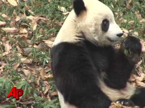 Popular Panda at National Zoo Bound for China