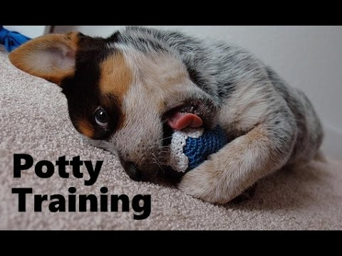 How To Potty Train A Blue Heeler Puppy - Housebreaking ...
