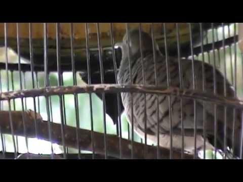 Suara Burung Perkutut Merdu