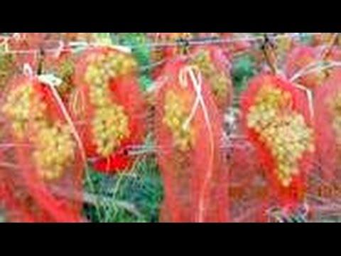 Виноград Мешочки для защиты ягод от ос и птиц