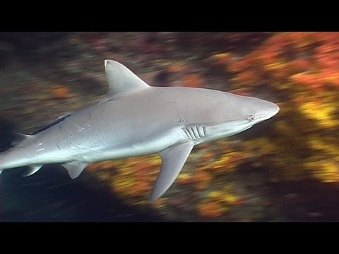 Requiem Sharks in Burma - Reef Life of the Andaman - Part 4