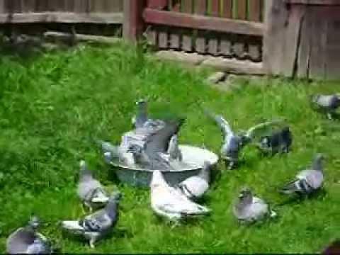 Gołębie pocztowe - moje hobby 2