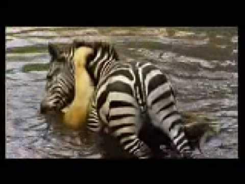 Lion Zebra Love Zebra Drowning a Lion