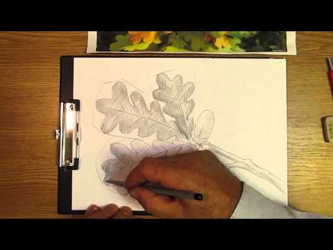 Видео как нарисовать лист дуба