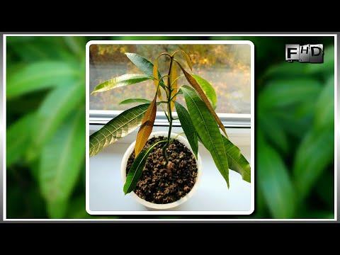 Как вырастить манго в домашних условиях - (ч.2)