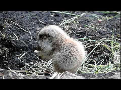 上野動物園のプレーリードッグの赤ちゃん。Baby Prairie Dog.Ueno Zoo.