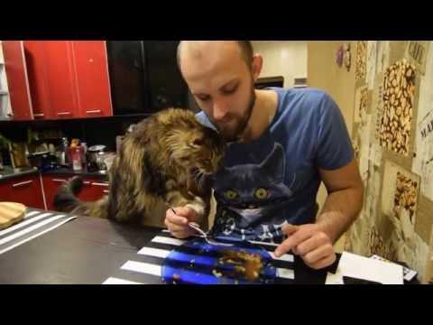 Мейн кун Маркуша попрошайничает Maine coon cat Markusha is panhandler