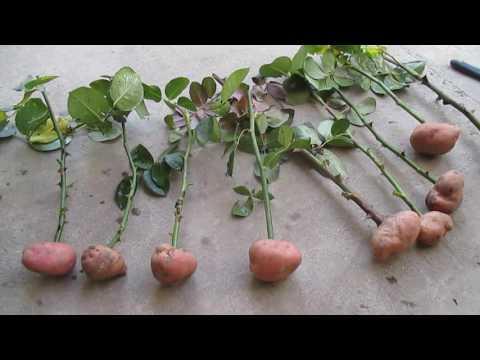 Как вырастить розу из черенка в домашних условиях в картошке видео