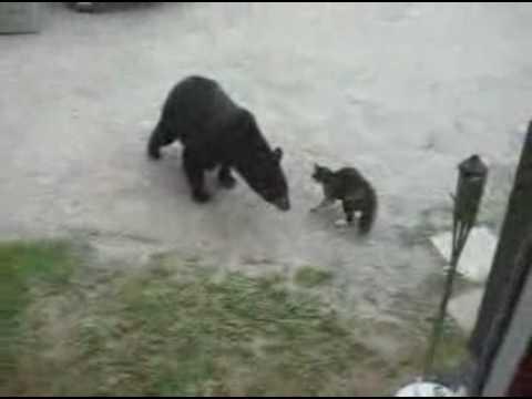 kediden korkan ayı