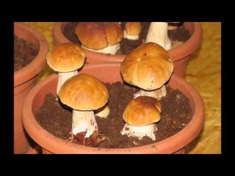 как вырастить белый гриб на даче видео