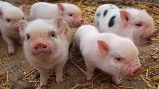 Con Lợn Éc, Con Gà Gáy Le Te - Nhạc Thiếu Nhi Vui Nhộn Sôi Động