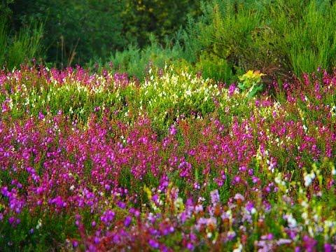Die Heide Glüht   Botanischer Garten Uni Bayreuth