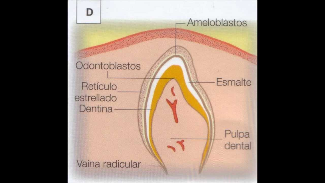 etapas de la amelogenesis pdf