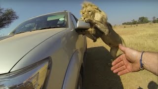 කාර් එක පස්සෙන් එළවන සිංහ රංචුව  Lions Attack Car Full of People