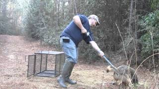 Removing a coyote from trap with catch pole.