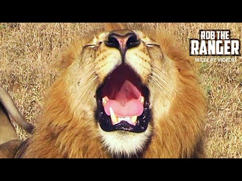 Powerful Roar Of A Majestic Wild African Male Lion video