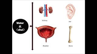 Traditional Chinese Medicine (TCM)-Wu-Xing(五行)