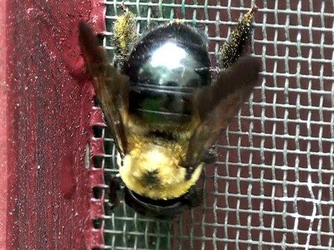 Male Eastern Carpenter Bee Eastern Carpenter Bee hd