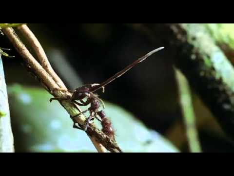 Cordyceps Fungus The mind control Killer Fungi