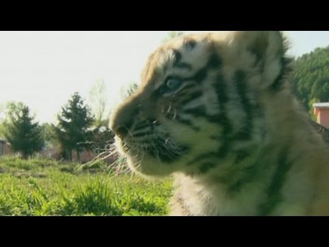 Siberian tiger baby boom in Chinese park
