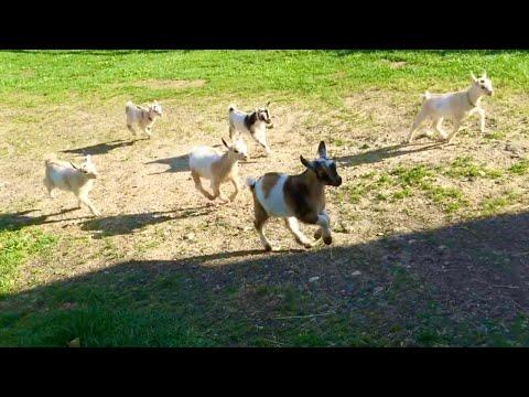 44匹の子ヤギが一斉にダッシュする姿にキュンキュンする映像