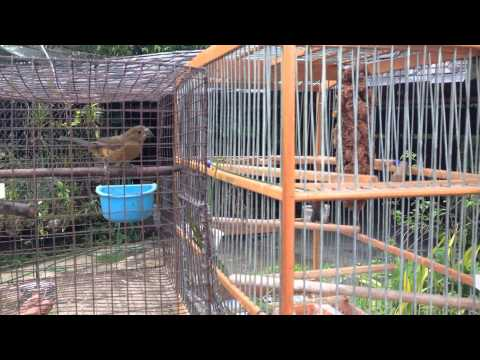 Trini Bullfinch video