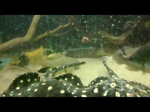 Alimentação aquário de carnívoros e jumbos