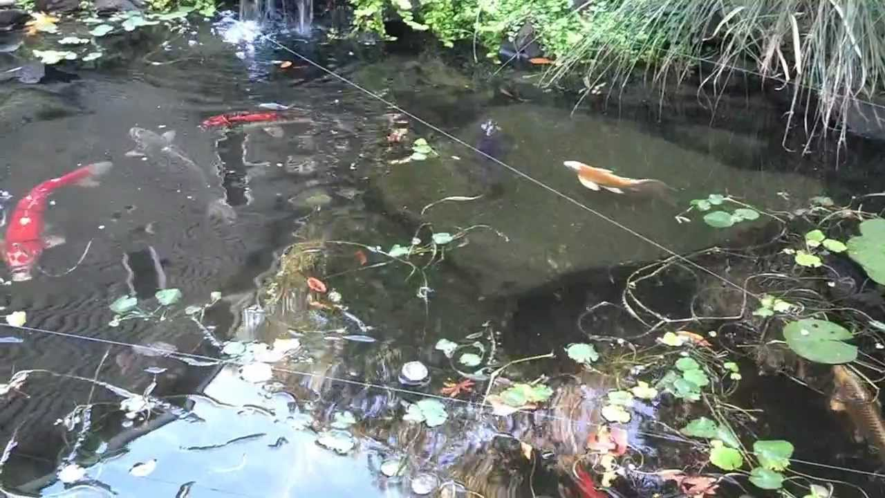 Pond protection with fishing line youtube for Koi pond setup