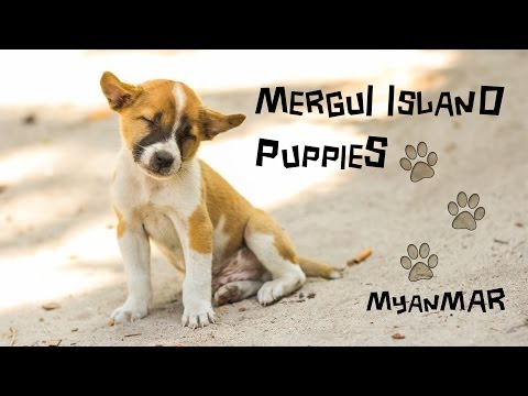 Puppies of Burma - The life of Island Dogs