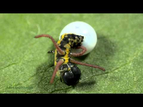 Brahmaea tancrei hatching - wylęg larwy