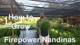 How to grow Firepower Nandinas (Heavenly Bamboo) with detailed description