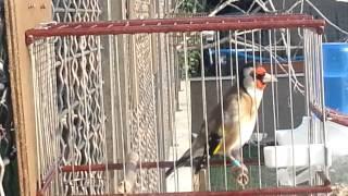 Mladi Zadranin 16 03 2014,grdelin, chardonneret,goldfinches,el jilguero
