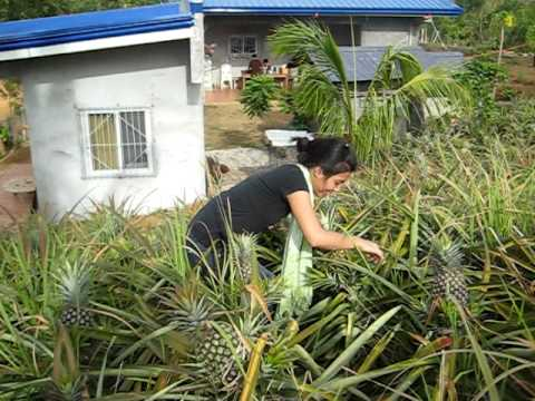 PATIKIM NG PINYA PART 1!!