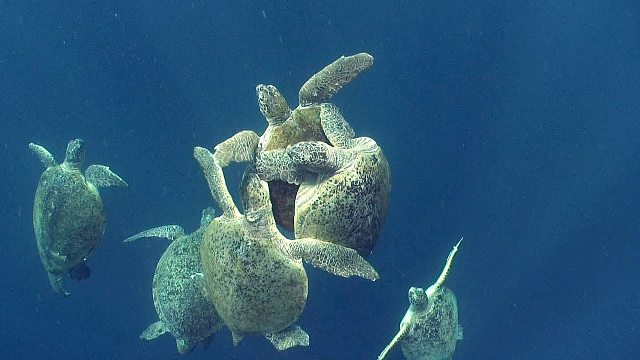Jonathan bird 39 s blue world sea turtles youtube for What saltwater fish are in season now