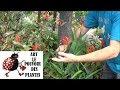 Jardinage Crocosmia Comment Faire La Taille Et L Entretien Plante Vivace mp3