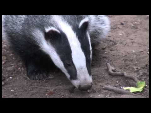 Kill the Cull, Not England's Badgers