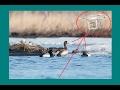 Охота с квадрокоптера. Охота c воздуха на уток. Hunting  quadcopter. Hunting from air for a duck.
