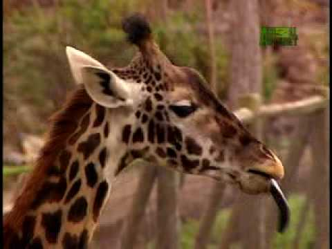 Growing Up Giraffe- Meet the Giraffes
