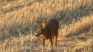 Roe Buck Hunting in Hungary Sükösd (HD)