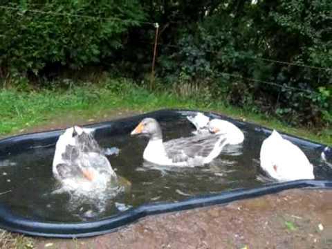 Les oies font les folles dans le bassin youtube - Bassin canard d ornement pau ...
