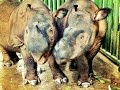 Breakfast with Andatu and Ratu -- Sumatran Rhinos -- Way Kambas