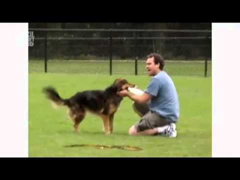 Австралийская овчарка в программе Dogs 101 (Animal Planet)