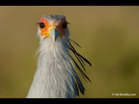 Secretary Birds Hunting in the Kalahari, South Africa