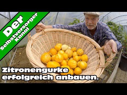 Zitronengurke, Anbau, Verwertung Und Meine Erfahrungen
