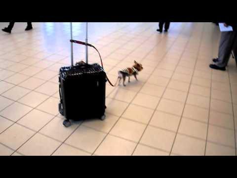 Эта маленькая собачка помогает тащить чемодан весом 15 килограмм в аэропорту.