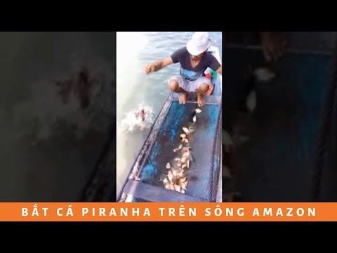 Nhìn cách bắt cá Piranha trên sông Amazon bá đạo quá....