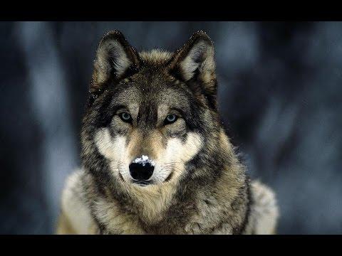 Документальный фильм про волков / Documentary about wolves.